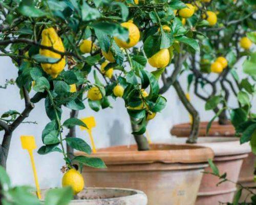 Citrontræer-indendørs